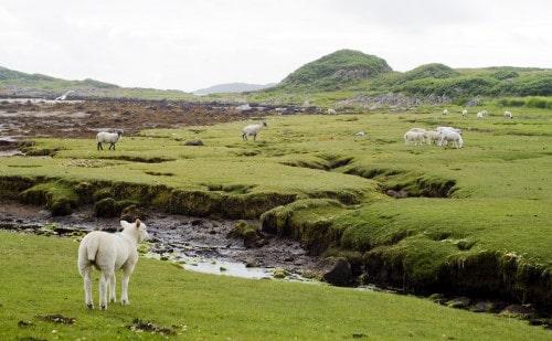 Ovce ustvarjajo čudovite zelene tepihe, Škotska