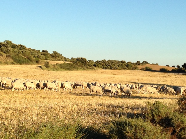 Čreda ovac v okolici gradu Loarre, Huesco (Aragon, Španija)