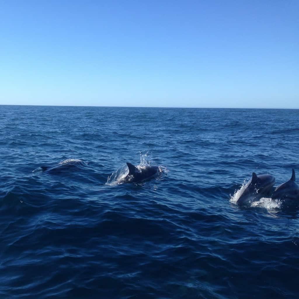 Delfini ob obali Algarve (Portugalska)