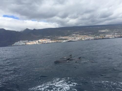 Ladjica je odplula iz Los Gigantesa na ogled delfinov, kitov in prečudovitih klifov (otok Tenerife, Kanarsko otočje, Španija)
