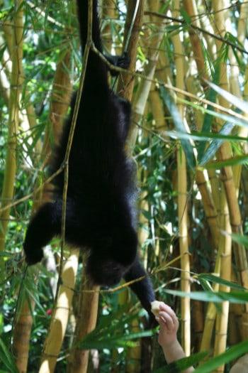 Hranjenje »howl monkeys« z bananami (Mehika)