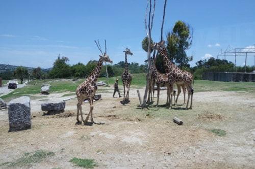 žirafe in ostale živali se prosto sprehajajo , ti pa se voziš mimo.