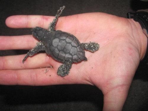 Mlade želvice po izvalitvi, Kalabrija