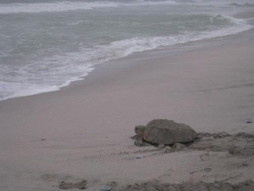 Želva po tem ko je izlegla jajca na obali, Kalabrija