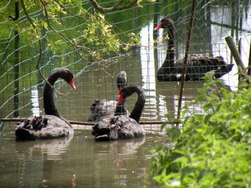 Ko se vračamo v mesto Marken, srečamo tudi črne labode, Nizozemska