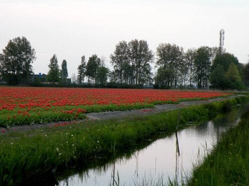 Noben arboretum se ne more primerjati s pogledom na cvetoča polja, Nizozemska