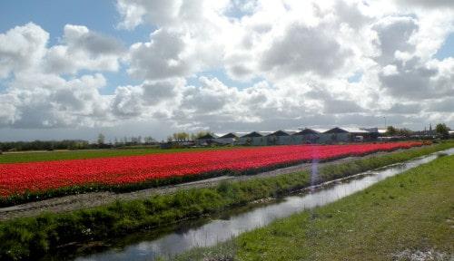 Prvo polje tulipanov, ki smo ga srečali na poti v Noordwijk, Nizozemska
