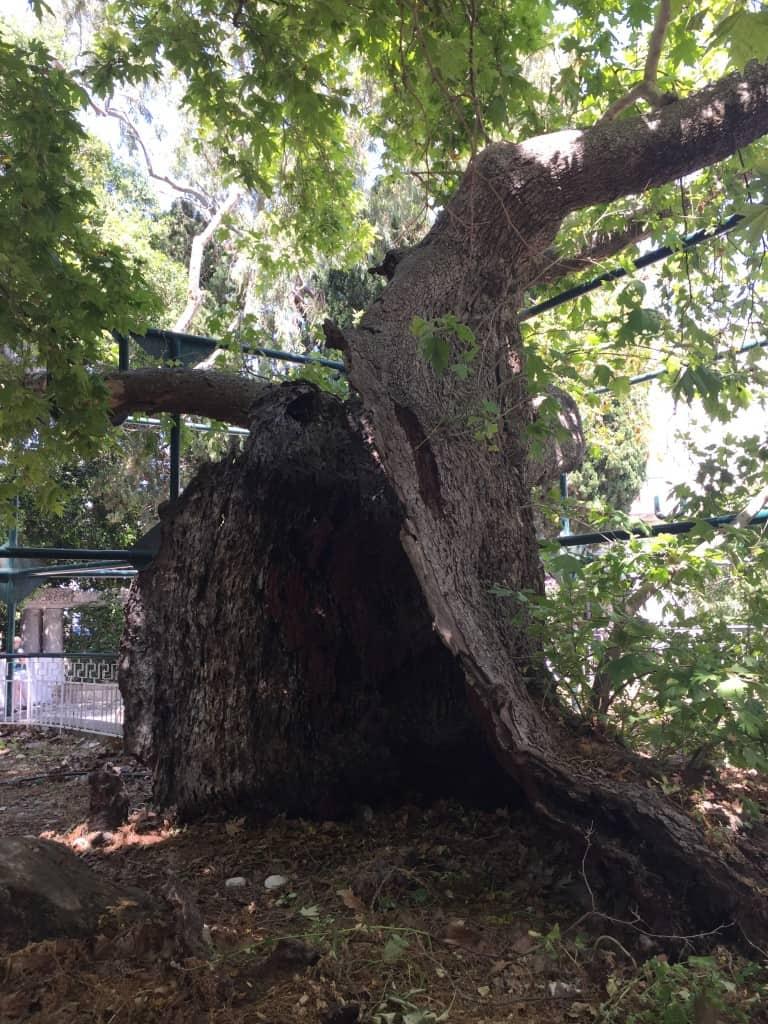 Hipokratovo drevo