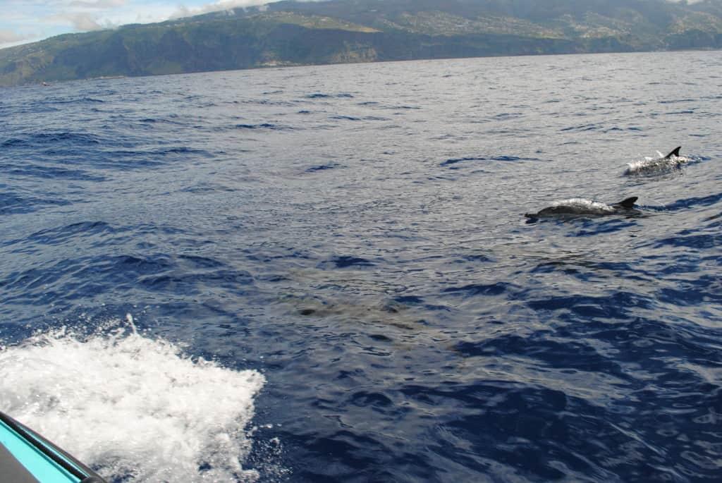 Družba delfinov, ki se igrajo poleg čolna (H2O Madeira)
