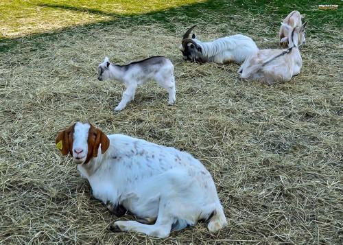 Mame koze z mladički, Ranč Burger
