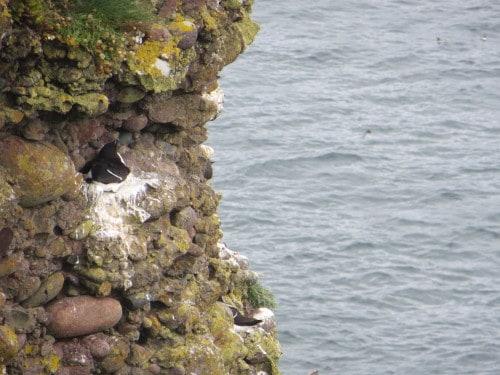 Ptičji klifi, Škotska