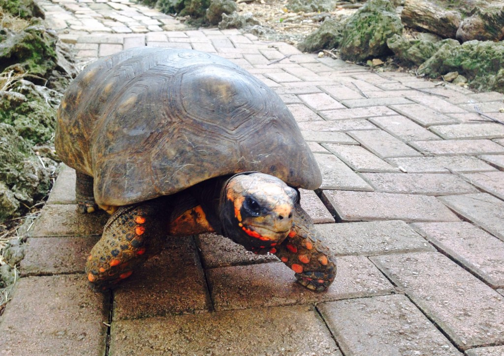 Ena izmed 200 želv naravnega rezervata na otoku (rajski otoki družinsko)