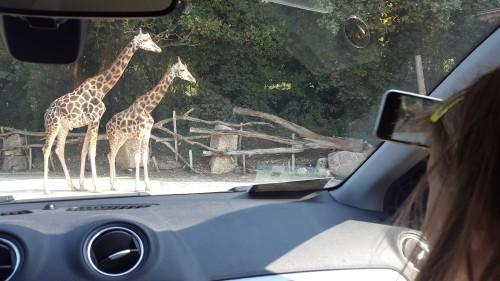 Radovedne žirafe pridejo čisto do avta, zato pazite, da ne boste imeli odprtih oken :)