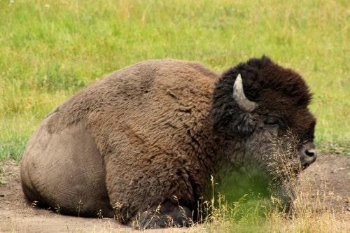 Pogled an enega od top živali v parku Yellowstone, bizona (družinsko po narodnih parkih ZDA)