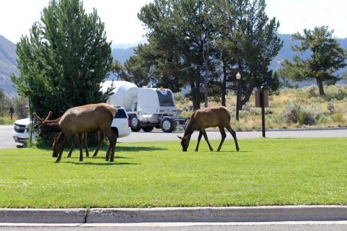 Nekatere živali je mogoče videti čisto blizu ali v mestih (družinsko po narodnih parkih ZDA)