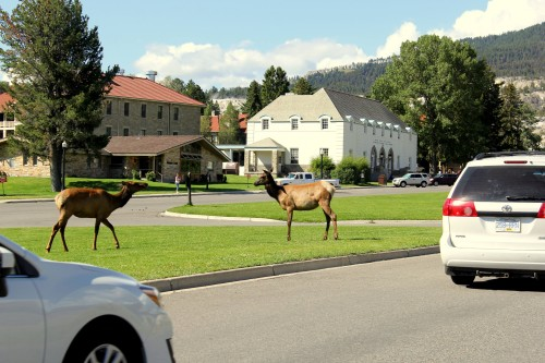 Po mestu pred obiskom Yellowstone parka se sprehaja jelenjad (družinsko po narodnih parkih ZDA)