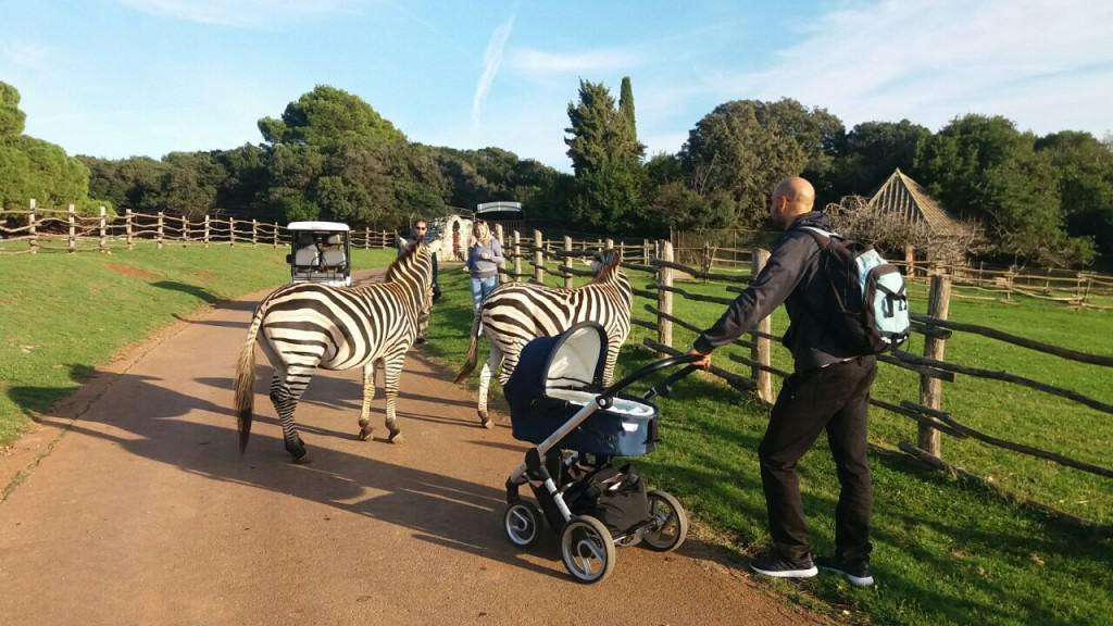 Pozor! Zebra na cesti (NP Brioni)