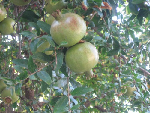 Granatno jabolko, otok Samos