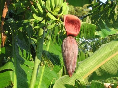 Banane, otok Samos