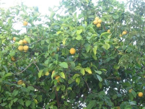 Limone, otok Samos