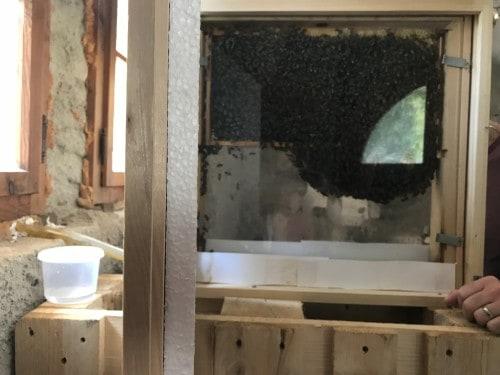 Pogled na čebelje delo in matico v steklenem čebelnjaku na razstavi čebel