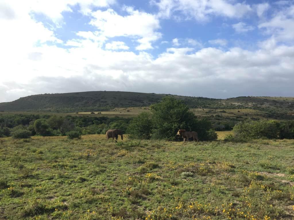 Amakhala Game Reserve, slon in lev:)