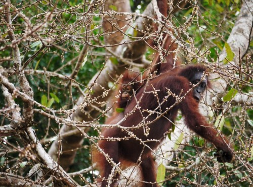 Orangutanka z mladičem