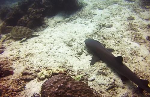 Želva in morski pes Sipadana